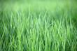 Hintergrund aus frischen grünen Grashalmen