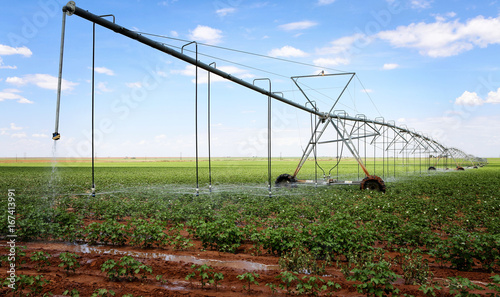 Cuadros en Lienzo  A cotton field irrigated with center pivot automated sprinkler system