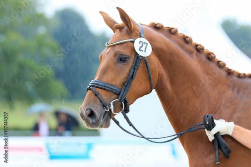 Photo  Chestnut Mare Horse Head