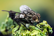 Macro Focus Stacking - Common Flesh-fly, Flesh Fly, Fly, Flies