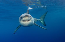 Great White Shark Underwater V...