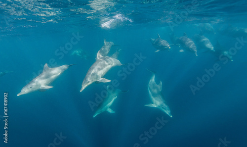 Poster Dolfijnen Bottle nosed dolphins during the sardine run, east coast South Africa.
