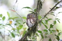 Sumatran Collared Owlet (Glaucidium Brodiei) In Mt.Kerinci, Sumatra, Indonesia