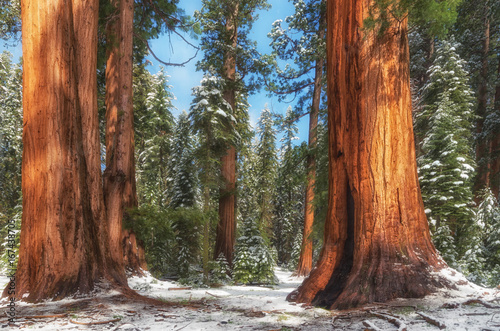 Giant Sequoia Trees in Sequoia National Park , USA