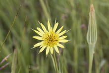 Yellow Salsify Wildflower Bloom On A Natural Green Foliage Background