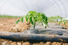 Closeup Of A Tomato Plant Grow...
