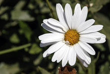 Head Of White Daisy Flower Wit...