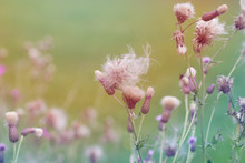 Seed Heads Ready To Disperse O...