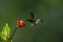 Colibri, Uccello Che Vola Ferm...