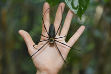 """Large Spider In The Rainforest, Wayag, The Male Is The Smaller And The Female The Larger, Raja Ampat, Western Papua, Indonesian Controlled New Guinea, On The Science Et Images """"Expedition Papua, In The Footsteps Of Wallace"""", By Iris Foundation"""