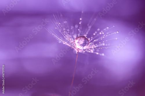 nasiono-mniszka-po-deszczu-na-fioletowym-tle
