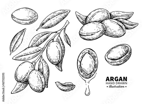 Argan vector drawing. Isolated vintage  illustration of nut. Org Canvas Print