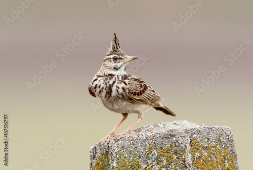 Valokuva Skylark on nice background
