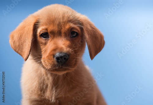 Photo  Young Fox Red Labrador Puppy