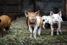Brown And White Piglet