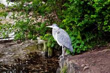 Grey Heron (Ardea Cinerea) Lon...