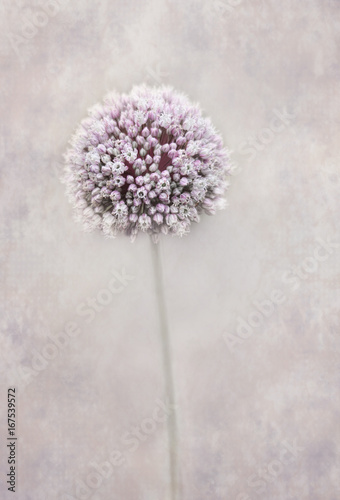 Fototapeta Czosnek - kwiaty  beautiful-allium-flower
