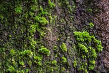 Green Moss On Large Tree Bark,...