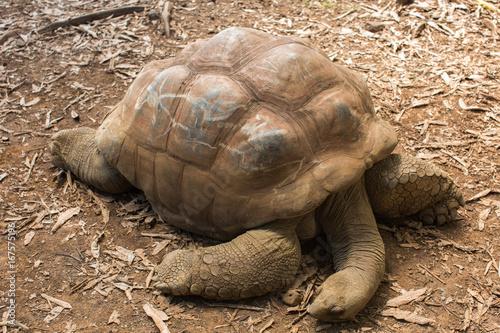 Fotografering  land tortoises