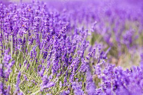 Photo  Lavender bushes close up, summer day background