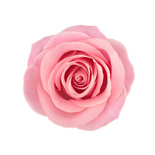 Coral Rose Flower. Detailed Re...