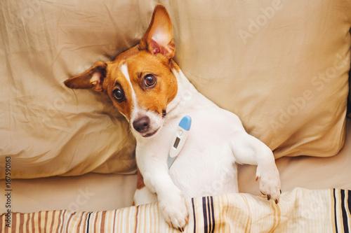 Fototapeta Sick dog under quilt with fever and temperature. obraz na płótnie