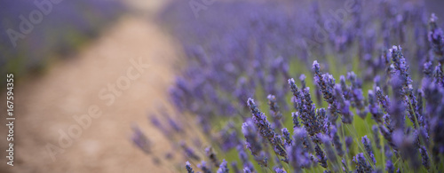 Blossoming of lavander flowers on the field ,closer view. Cutted for banner.