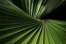 Beautiful Fiji Fan Palm