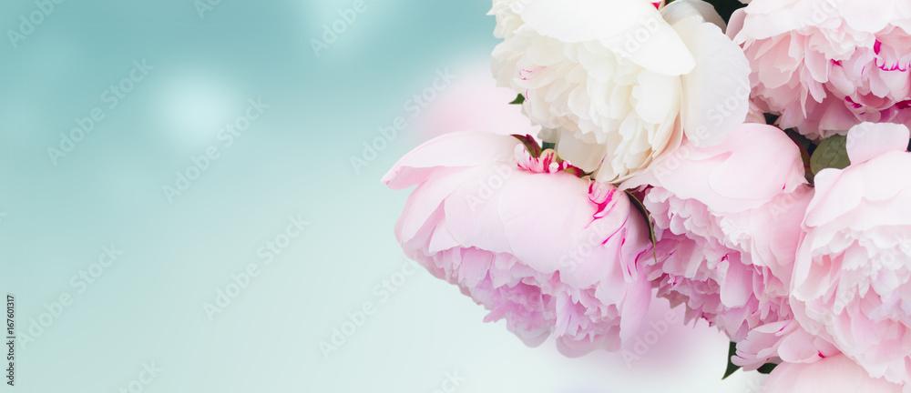 Świeże kwiaty piwonii w odcieniach różowym z bliska na niebieskim tle banner <span>plik: #167601317   autor: neirfy</span>