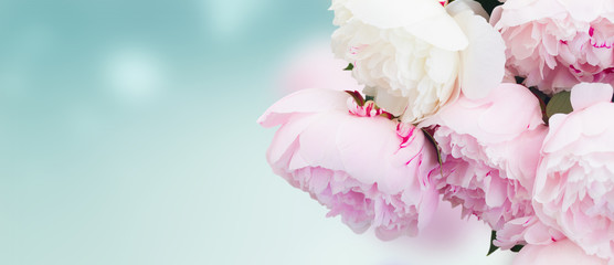 FototapetaFresh peony flowers colored in shades of pink close up on blue background banner