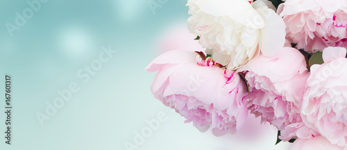 Obraz na plátně Fresh peony flowers colored in shades of pink close up on blue background banner
