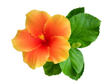 Orange Color Hibiscus Flower With Bud And Leaves Isolated On White Background, Clipping Path Included