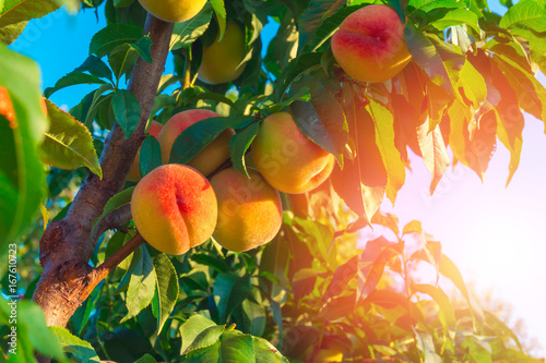 Fototapeta Peaches growing on a tree