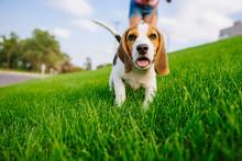 Dog On Green Meadow. Beagle Pu...