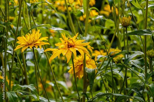 Cutleaf Coneflower Rudbeckia lacinata blooming in garden, sunny day, summer time Fototapet