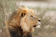 canvas print picture Portrait of a big male African lion (Panthera leo), Kalahari desert, South Africa.