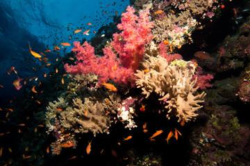 Fototapeta na wymiar Coral garden in the red sea