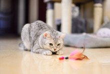 Gray-white Tabby Cat Plays Wit...