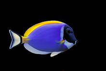 Powder Blue Tang (Acanthurus L...