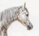 Portret szara arabska końska głowa na lekkim tle, profilów obrazki - 167669972