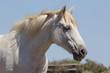 Cavallo bianco in Camargue