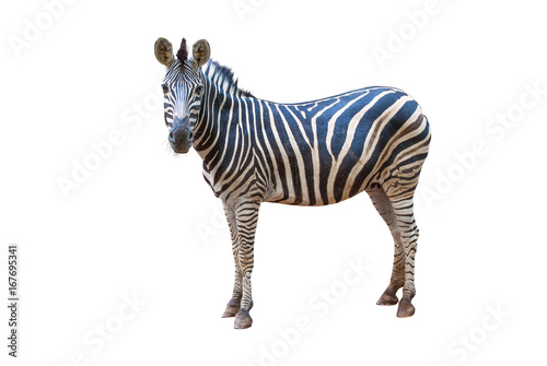 Poster Zebra A zebra is standing, Isolated on white background.