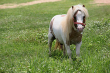 The Miniature Horse In A Green...