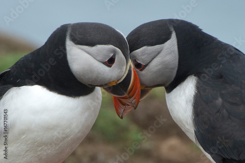 Pair of puffins  (Fratercula arctica) interacting and billing Tablou Canvas