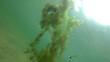 unterwasserpflanze hornkraut wächst gegen das sonnenlicht