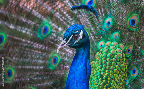 Closeup of a Peacock