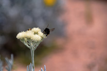 Banded Bee Collecting Nectar P...