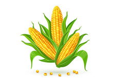 Corncobs With Yellow Corns And Green Leaves Group, White