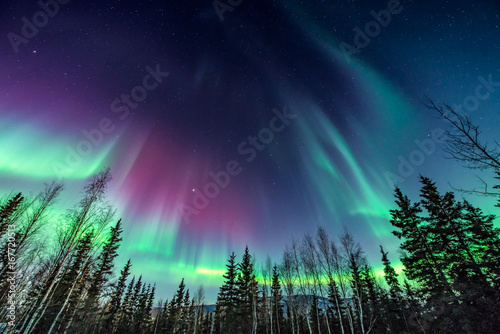 Poster Noorderlicht Purple and green aurora / northern Lights over tree line