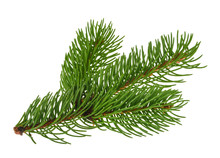 Pine Tree Isolated On White Wi...